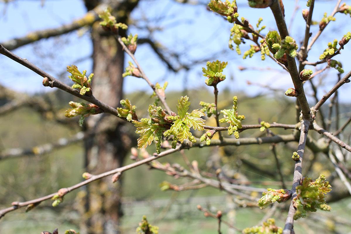 Baumimpressionen vom 1. Mai 2016 an der Saar