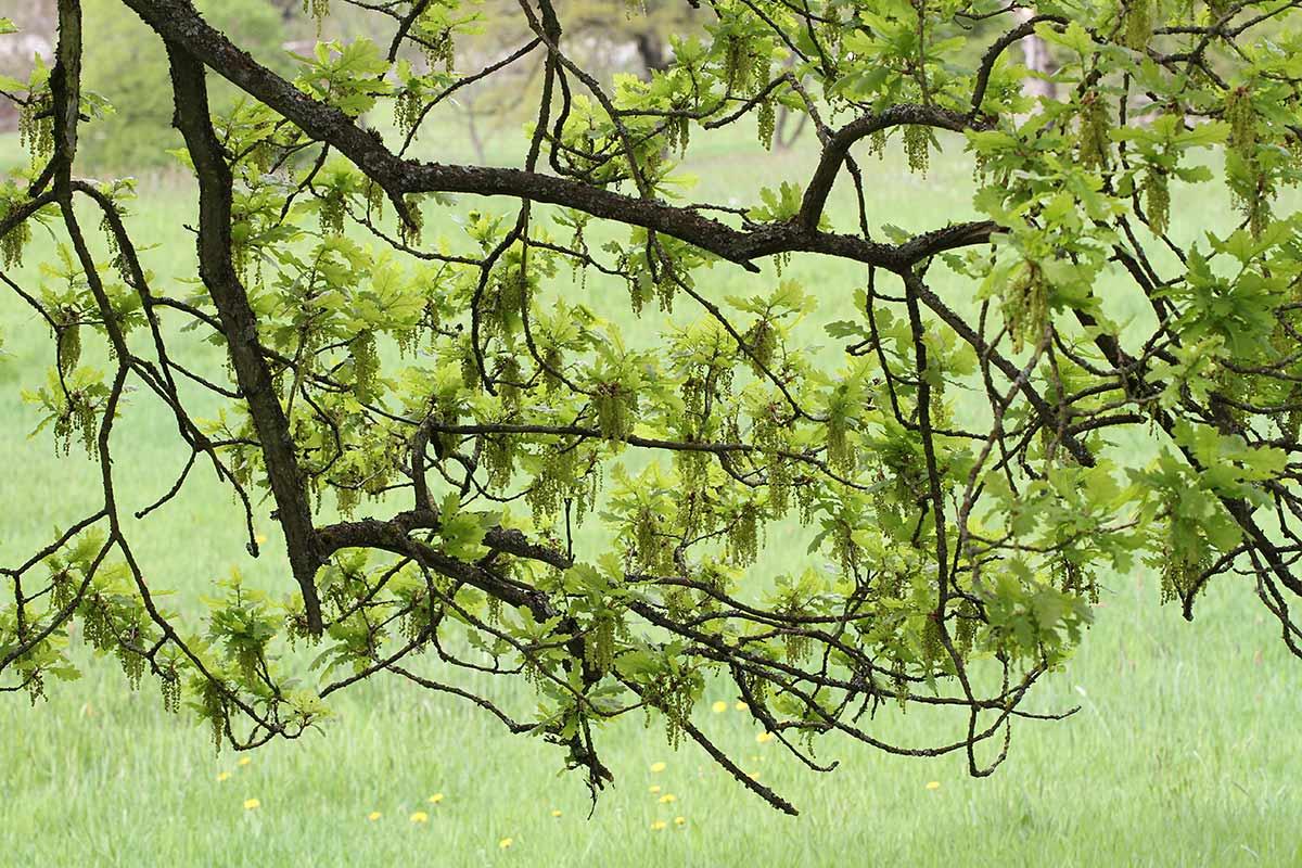 Eichenblüte