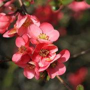 Quittenblüte, aus: Frühlingsfortschritt