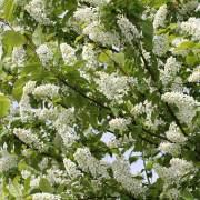 Üppig blühende Traubenkirsche, aus: Lichtzelthimmel