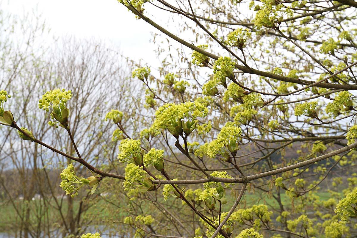 Spitzahornblüte