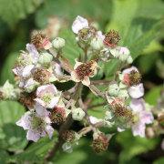 Brombeerblüte II, aus: Brombeersommer