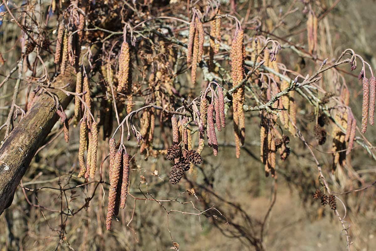 Erlenzweig mit jungen Blütenständen und alten Zapfen