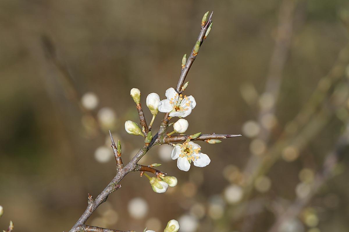 Erste Schwarzdornblüten im Frühling