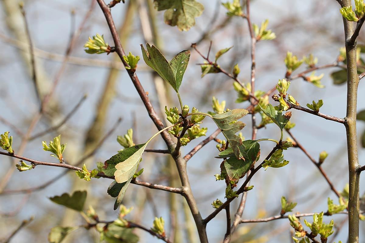Junge Blätter des Weißdorns im Frühling, zusammen mit alten Blättern