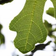Blatt im Gegenlicht, aus: Feigenbaumsommer