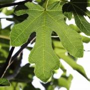 Blattwerk im Gegenlicht, aus: Feigenbaumsommer