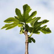 Feigenbaum, junge Blätter und Früchte, aus: Sommerblumentag