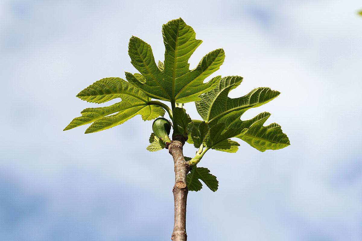 Feigenbaum, junge Blätter und Frucht
