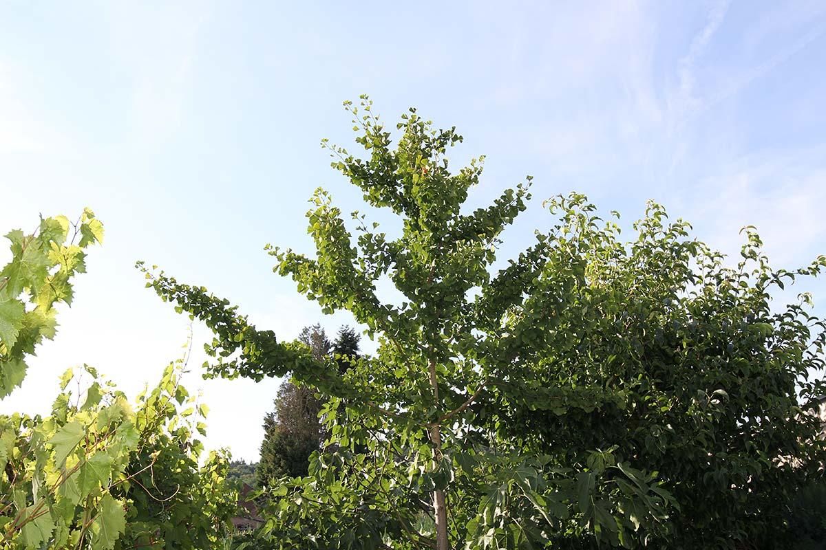 Hochsommerliches Baumensemble im Garten
