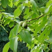 Walnussbaum mit reifenden Nüssen, aus: Sommerlichtfänger