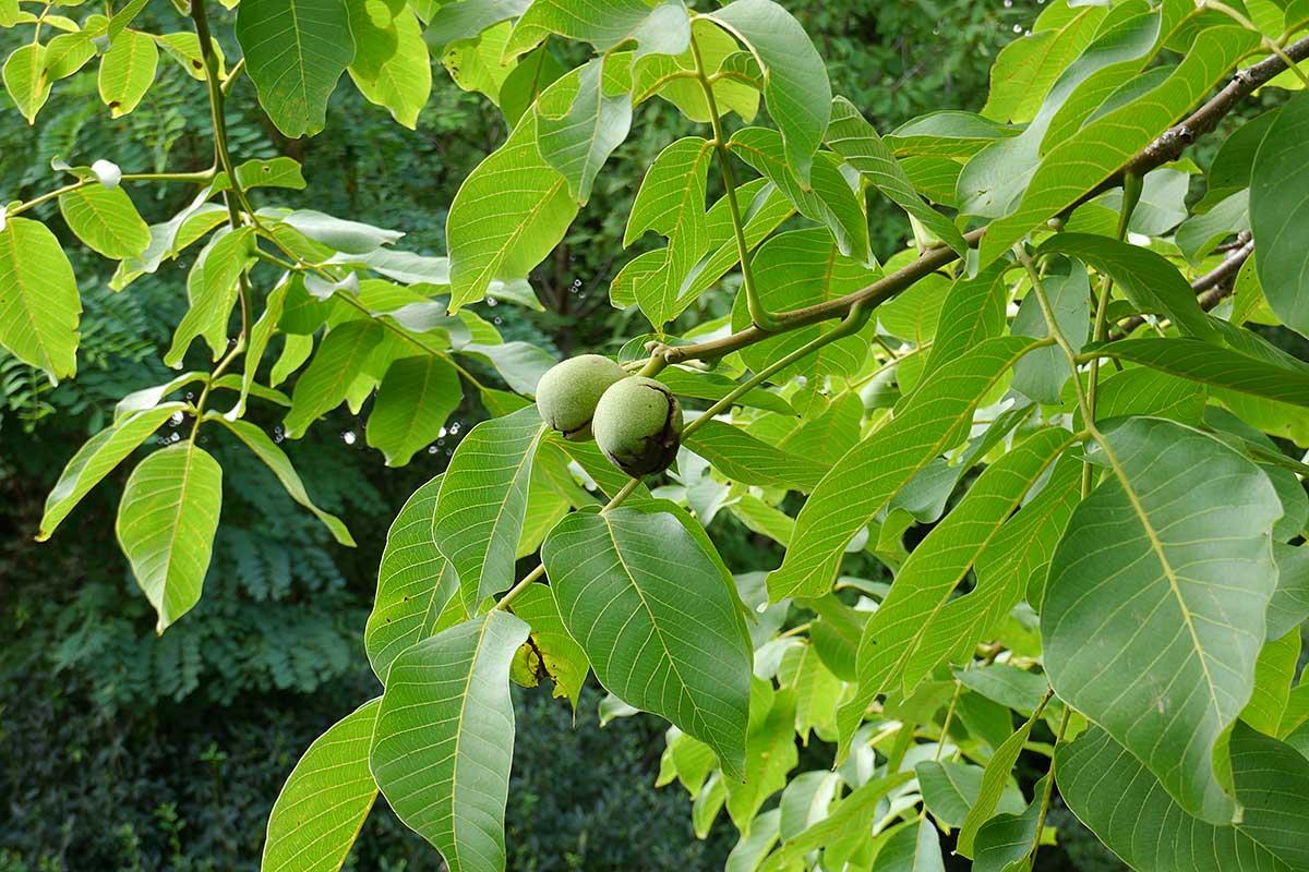 Walnussbaum mit reifenden Nüssen