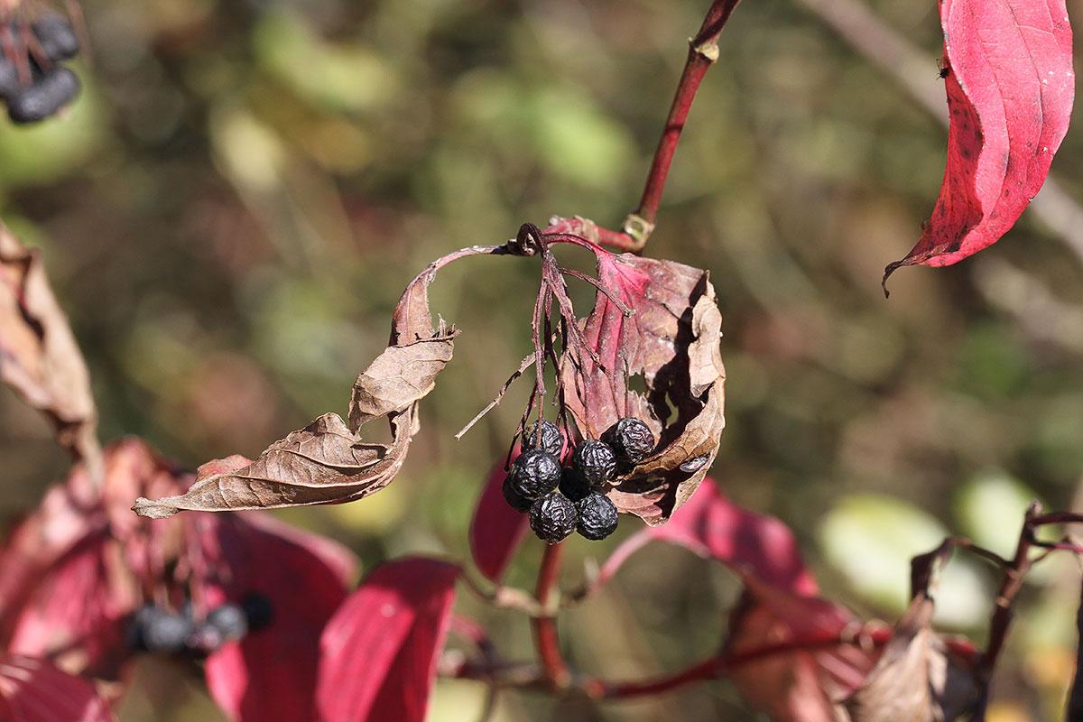 Hartriegelstrauch im Herbst
