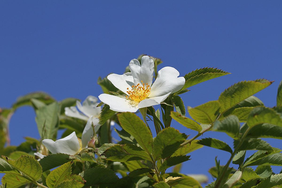 Heckenrosenblüte I