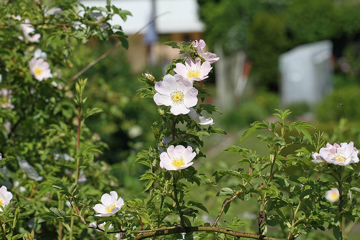 Heckenrosenblüte IV