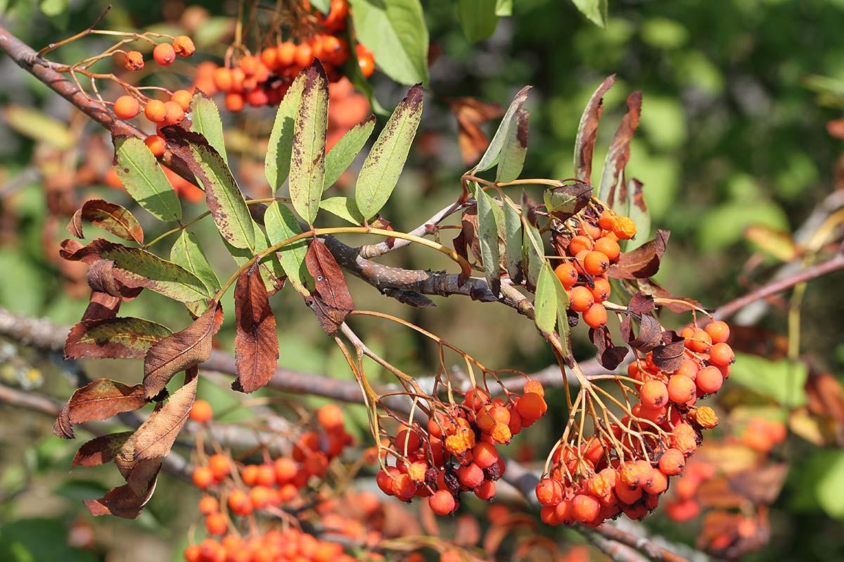 Herbstlich anmutender Ebereschenzweig im Hochsommer