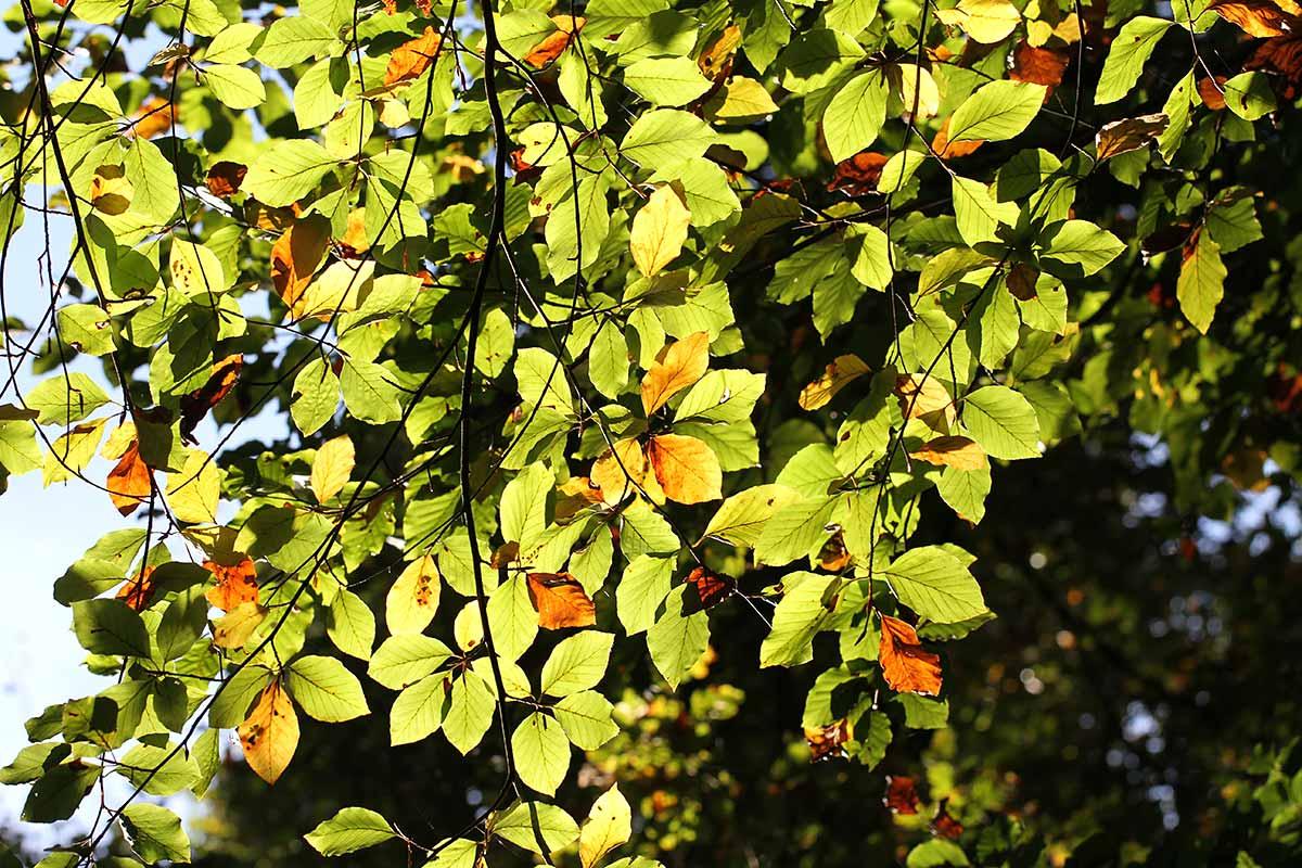 Herbstliches Buchenlaub im Gegenlicht