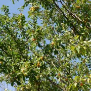 Reife Mirabellen am wildwachsenden Baum, aus: Mirabellen satt