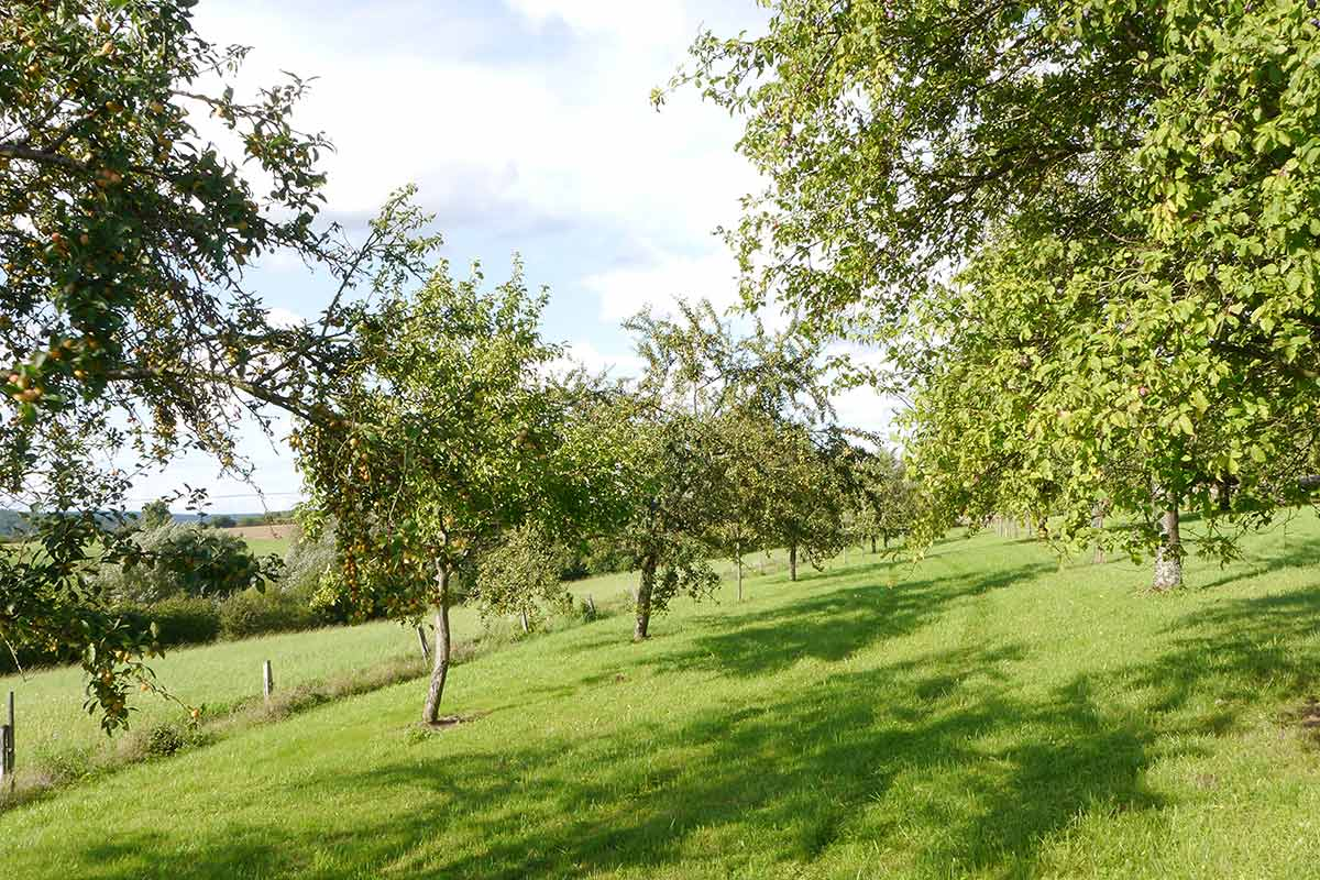 Streuobstwiese mit Mirabellenbäumen