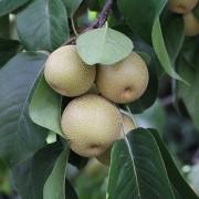 Nashi-Früchte im Sommer, aus: Pralle Früchte