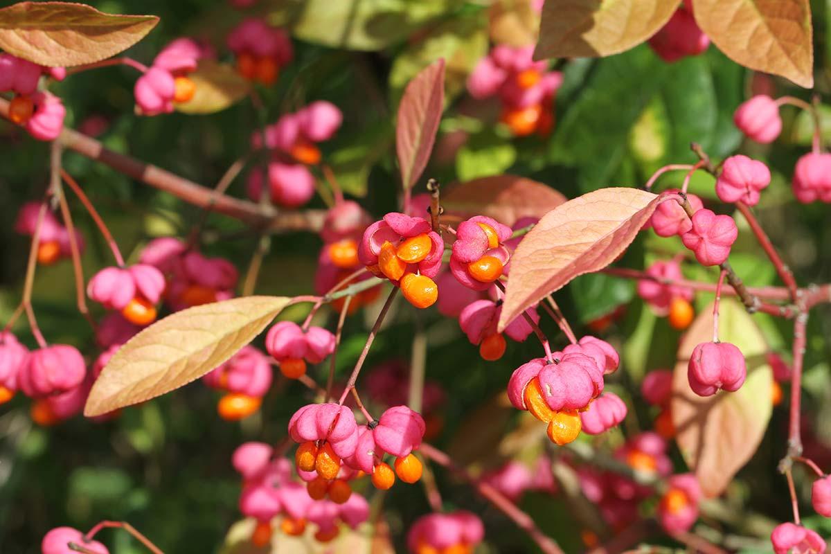 Pfaffenhütchen zu Herbstbeginn 8