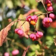 Pfaffenhütchen zu Herbstbeginn 3, aus: Im Farbenrausch der Pfaffenhütchen