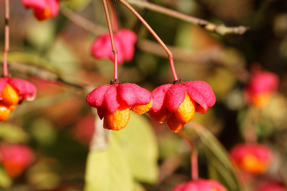 Reife Fruchtkapseln des Pfaffenhütchens im Spätherbst
