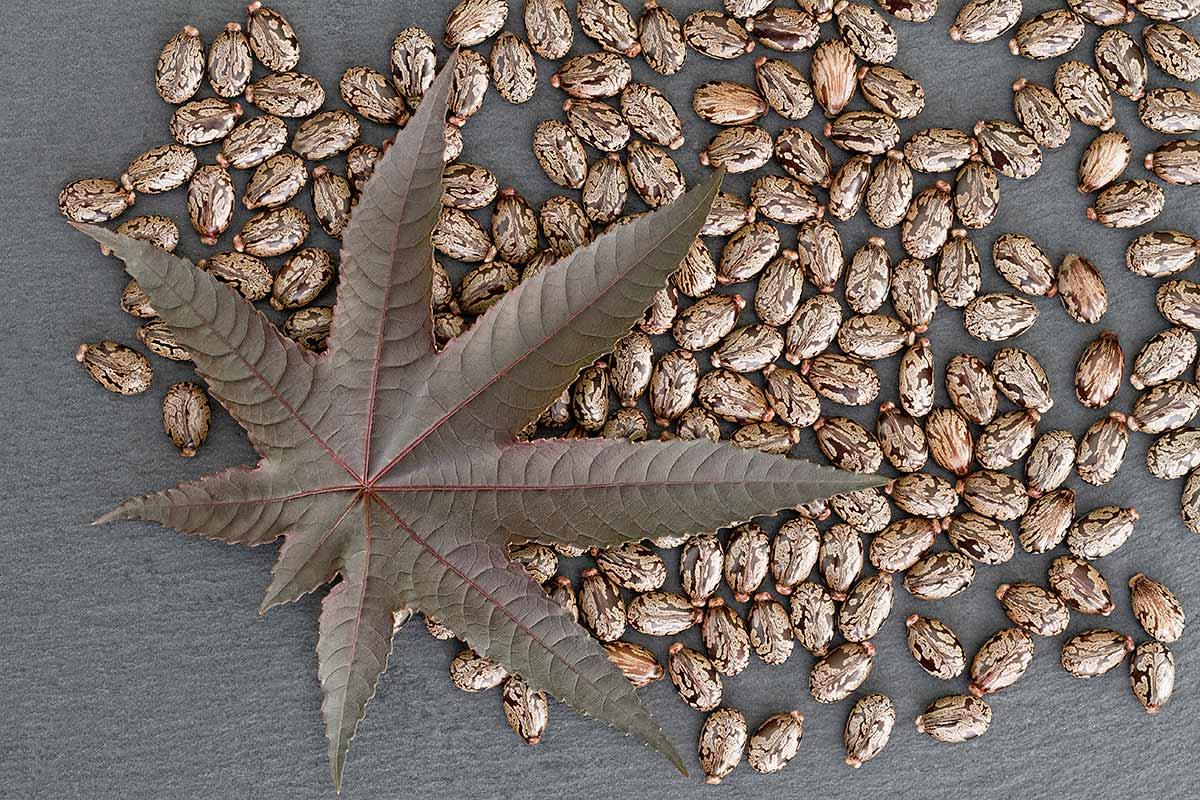 Blatt und Samen von Ricinus communis