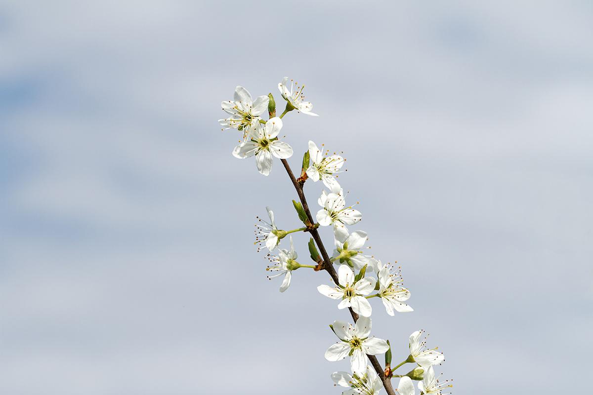 Schlehdornblüte