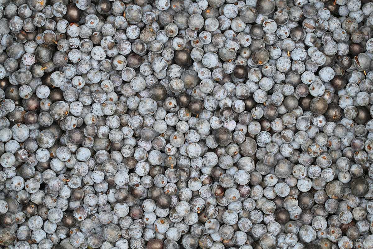 Nahaufnahme frisch gesammelter Schlehenfrüchte
