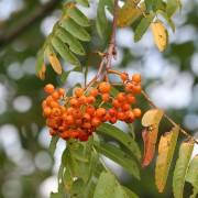 Ebereschenzweig mit Fruchtstand im Hochsommer, aus: Punktuelle Blicke auf die Bäume im Hochsommer