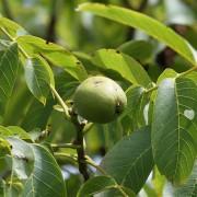 Walnussbaumzweig mit grüner Nuss im Hochsommer, aus: Punktuelle Blicke auf die Bäume im Hochsommer