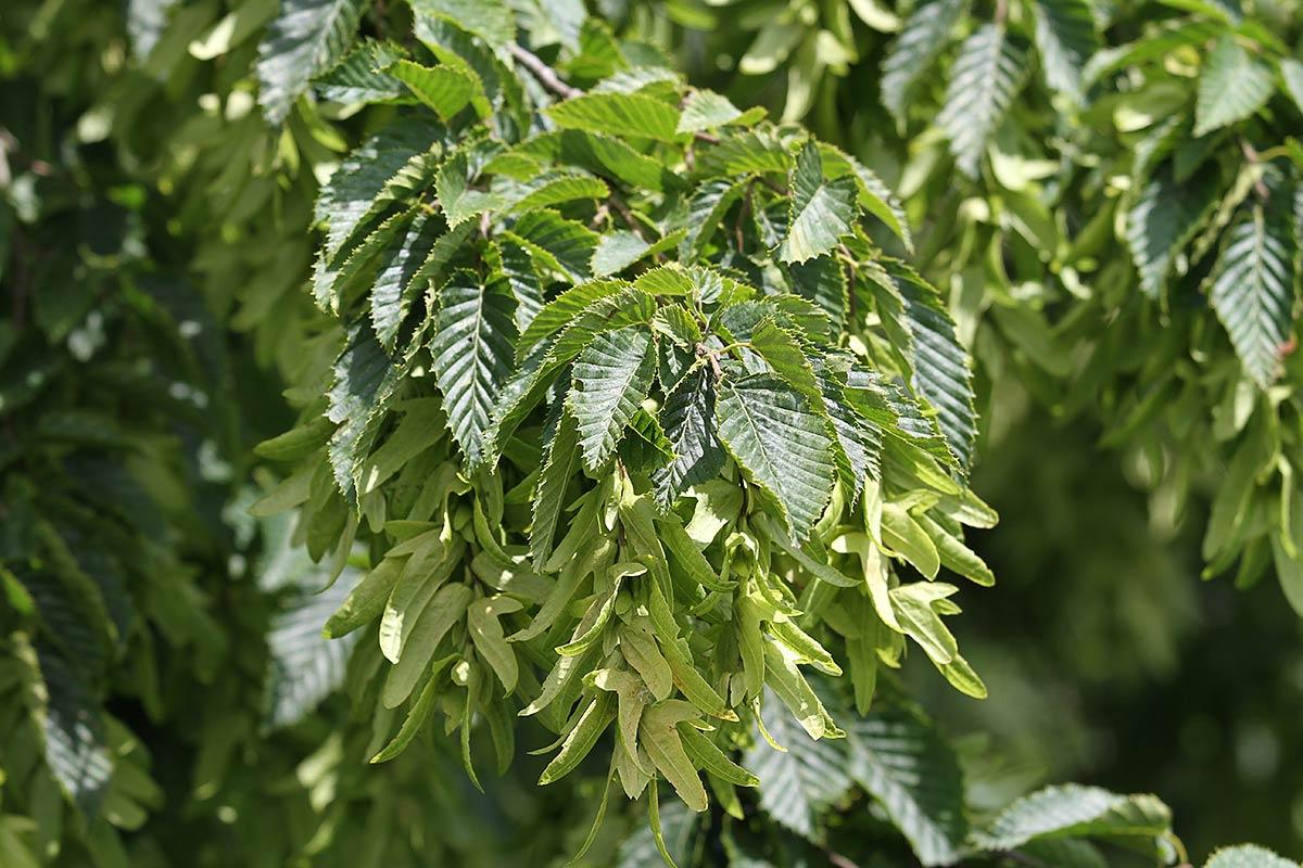 Details aus der sommerlichen Baumlandschaft an der Saar
