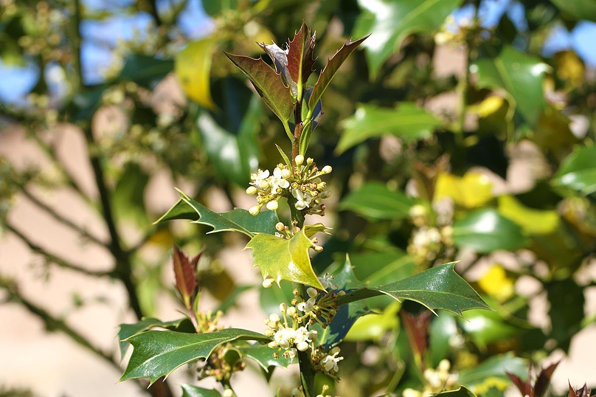 Blühender Stechpalmenzweig mit jungen Blättern
