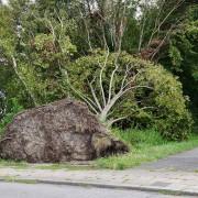 Sturmopfer – Entwurzelter Ahorn in Essen, aus: Stürme und Baumopfer