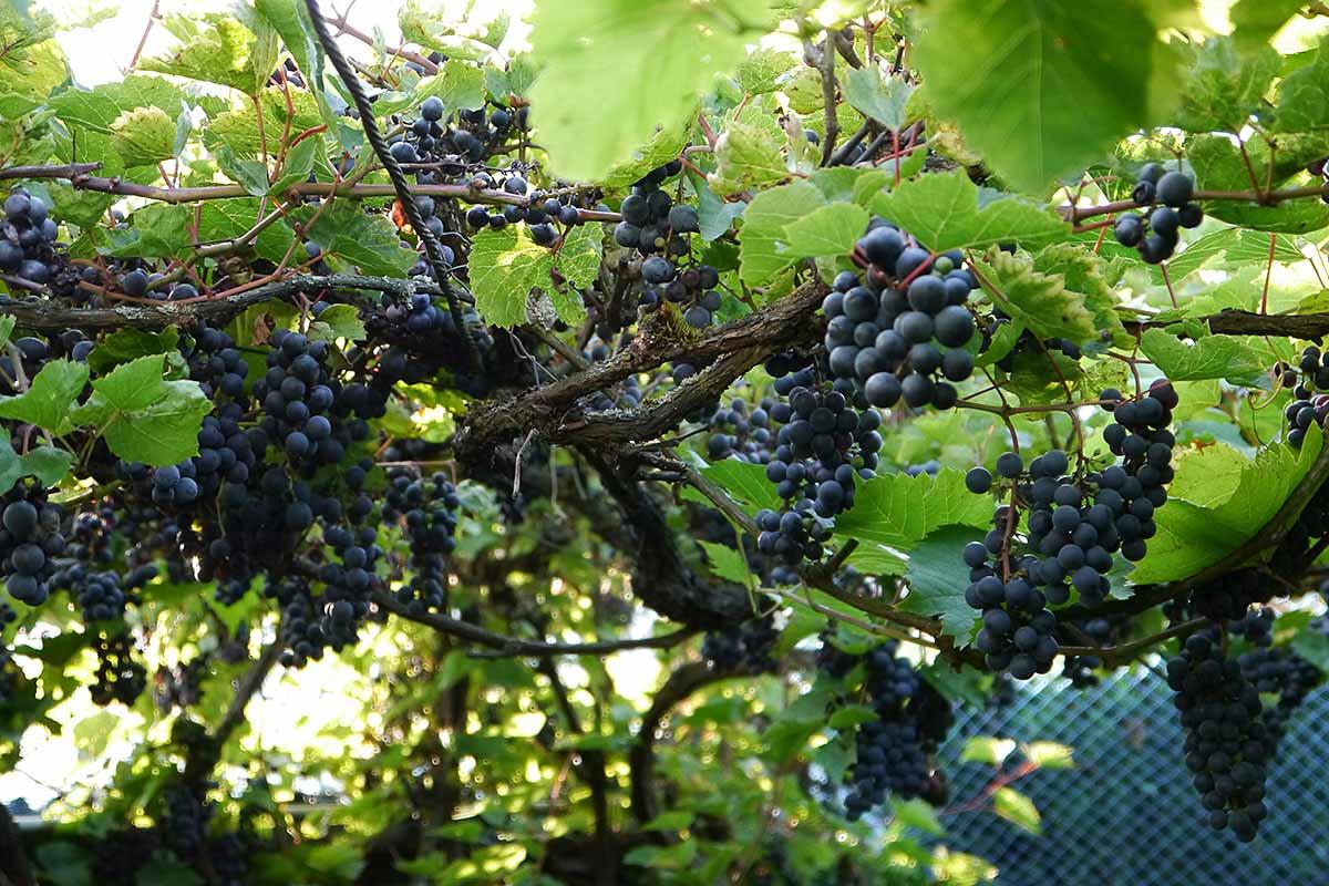 Erntereife rote Trauben im Garten