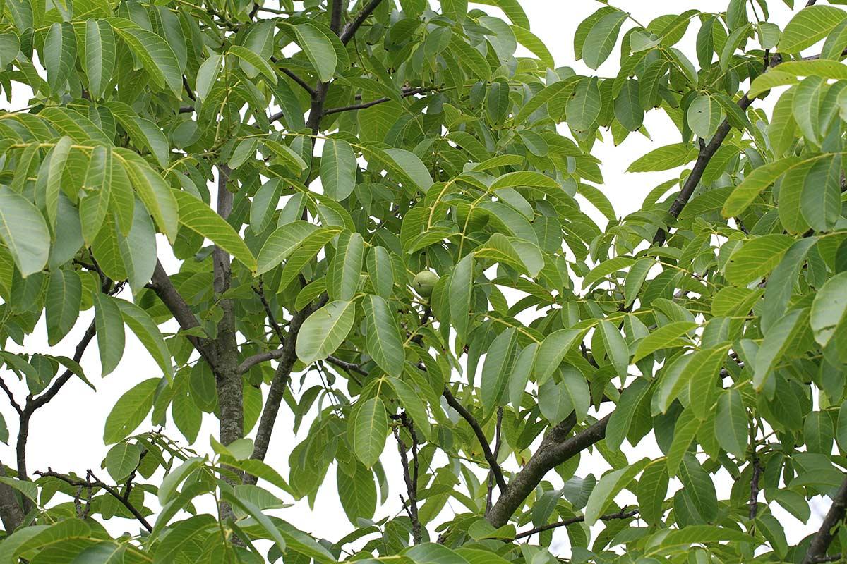 Grüne Walnüsse am Baum