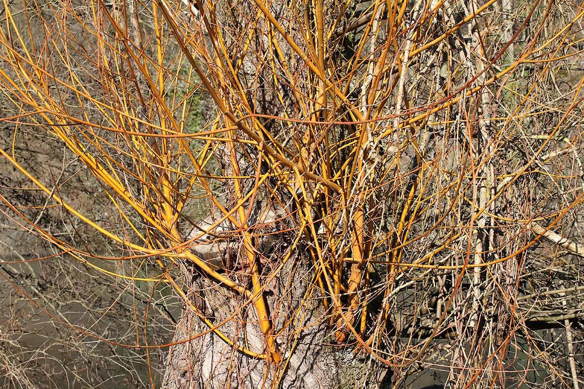 Junge Triebe der Weide im Winter