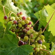 Reifende Weintrauben, aus: Üppiges Obstjahr