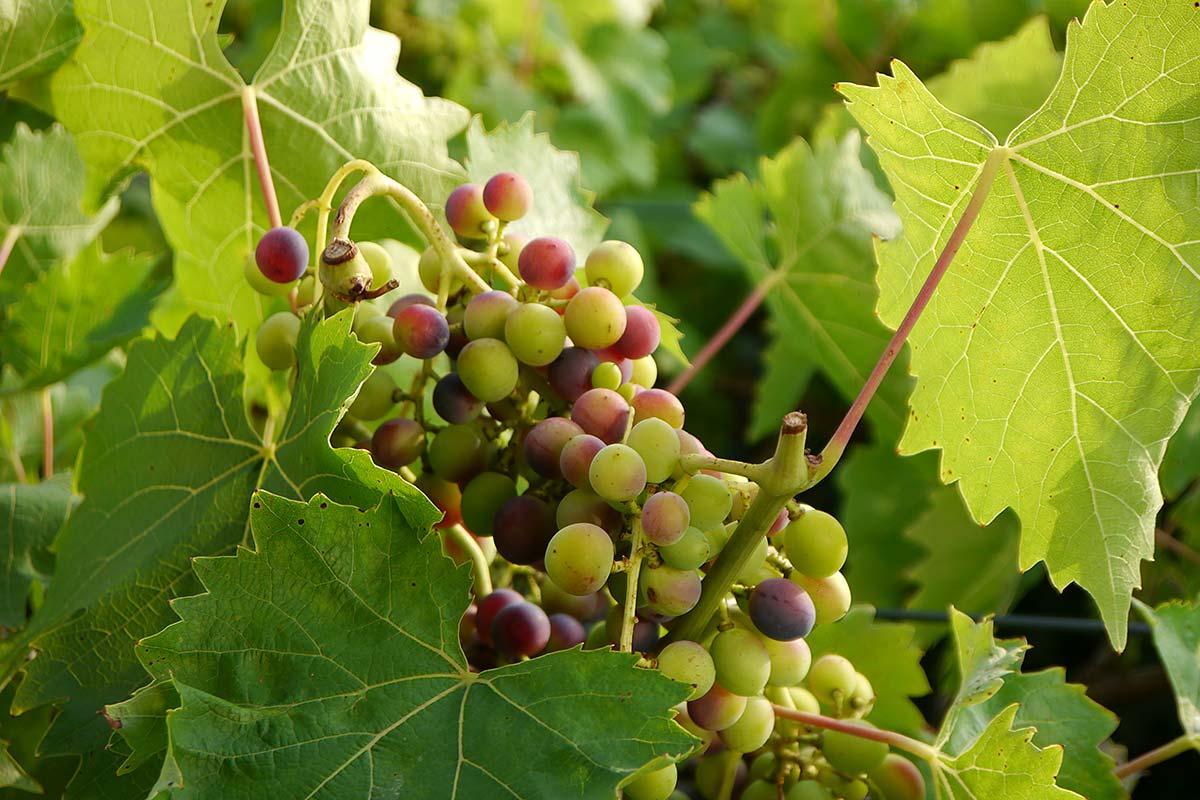 Reifende Weintrauben