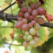 Reife weiße Weintrauben, aus: Schöner Altweibersommertag