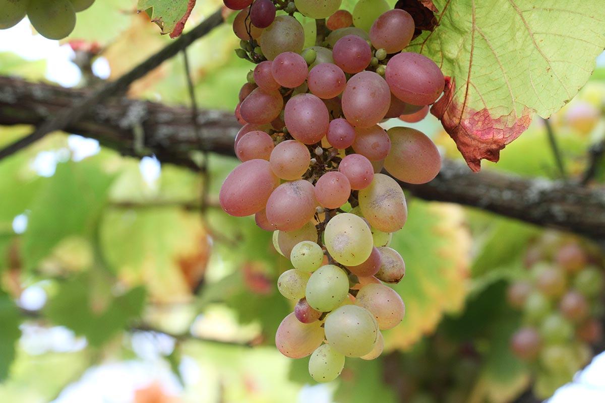 Reife weiße Weintrauben