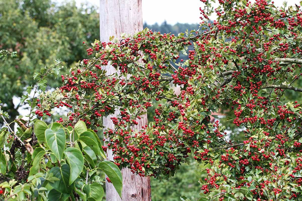 Fruchttragender Weißdornstrauch
