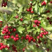 Zweig mit reifen Weißdornfrüchten, aus: Weißdorn-Rot