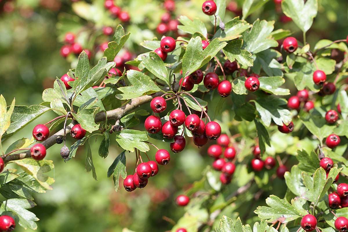 Zweig mit reifen Weißdornfrüchten
