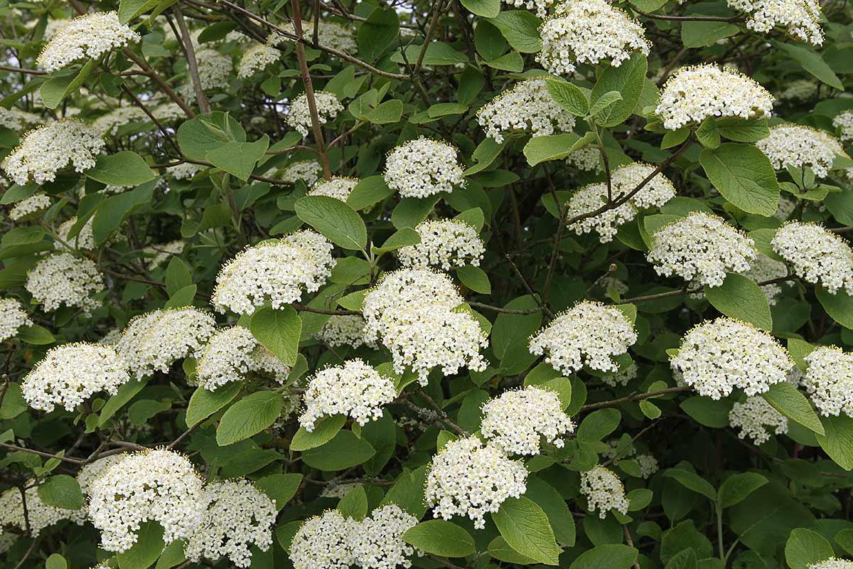 Blütenstände des Wolligen Schneeballs