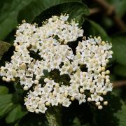 Blüte des Wolligen Schneeballs, aus: Frühlingsrückblick