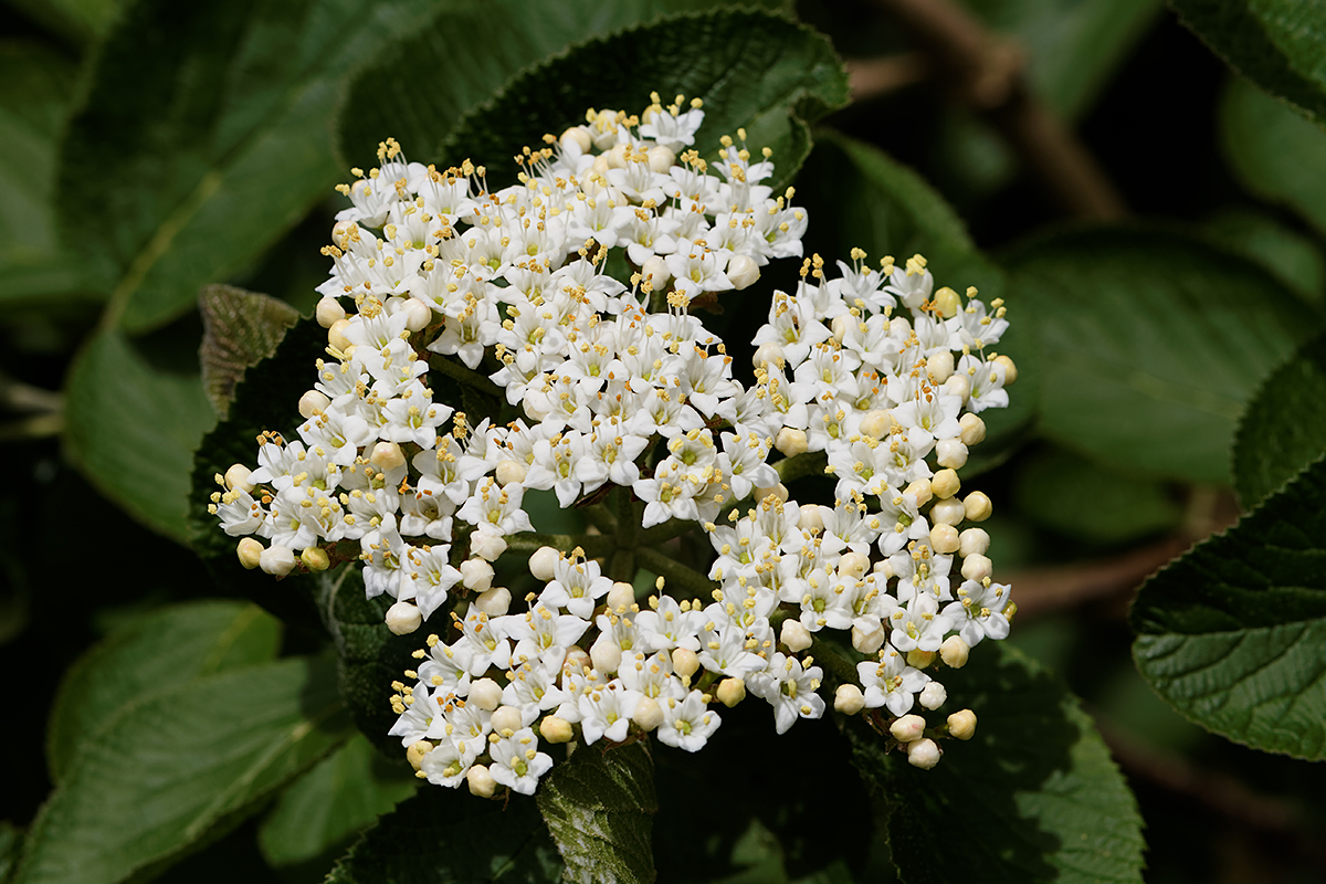 Blüte des Wolligen Schneeballs